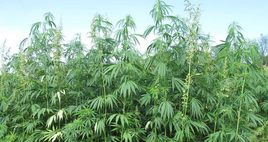 Industrial Hemp is not Marijuana