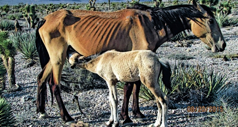 New BLM plan targets 'unsustainable' attempts to manage wild horses