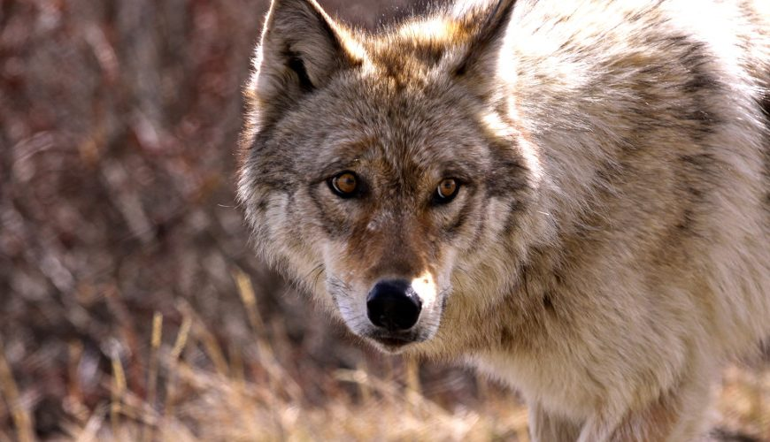 Idaho draft wolf plan has predator's fans, foes howling