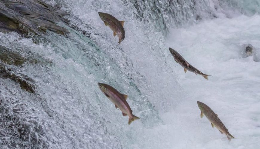 Landmark bill protecting endangered salmon signed into law