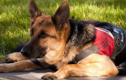 Going to the Dogs – The Growing Problem of Fake Service Dogs