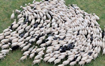 'American Sheeple' — The Fleecing of America